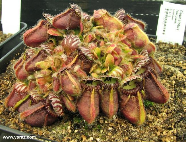 Cephalotus folicularis