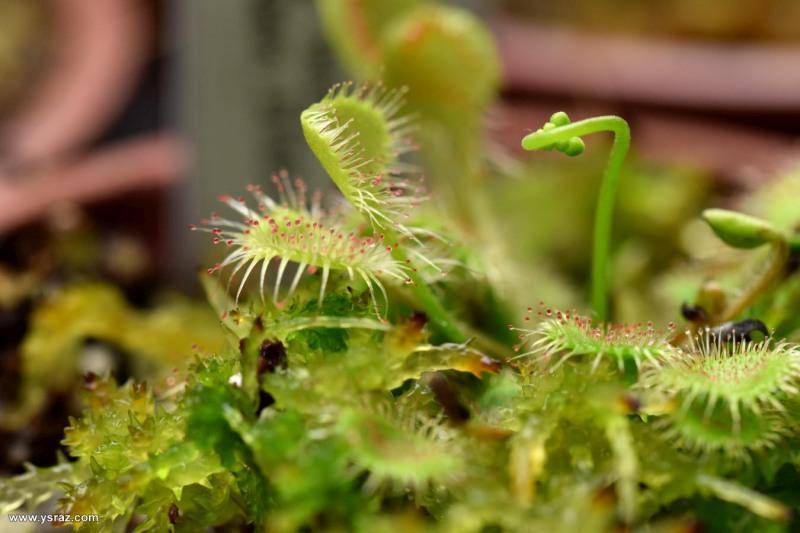 טללית עגולת העלה Drosera rotundifolia