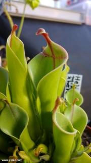 צמח טורף הליאמפורה בתצוגה