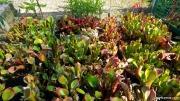 גידול הליאמפורה בחממה בגנים הבוטאניים בבון