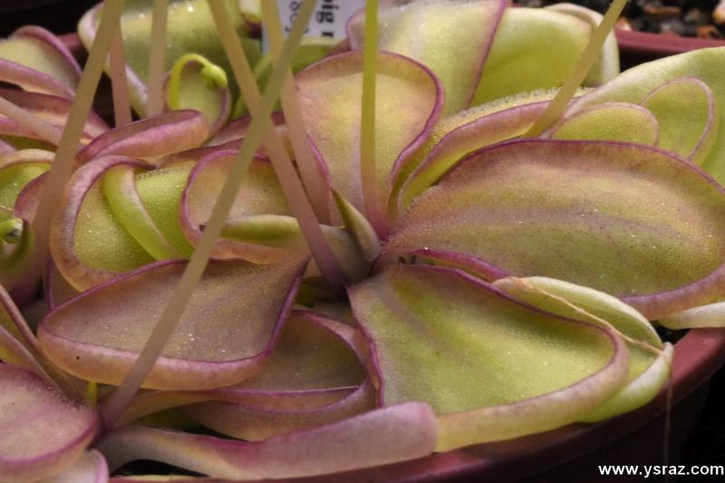 חמאית Pinguicula emerginata