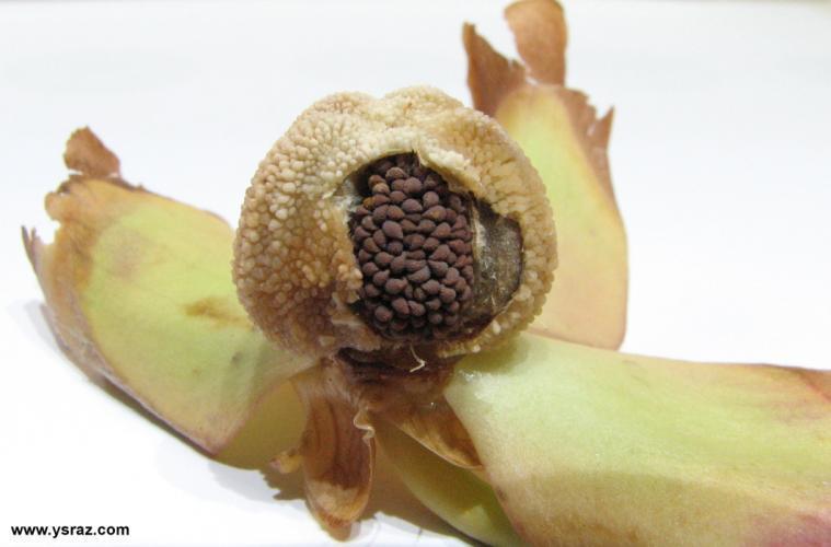 זרעים בתוך הפרי היבש