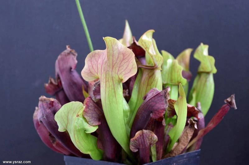 שופרית בראבא Sarracenia Barba x purpurea