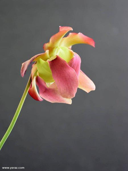 פרח שופרית בראבא Sarracenia Barba x purpurea
