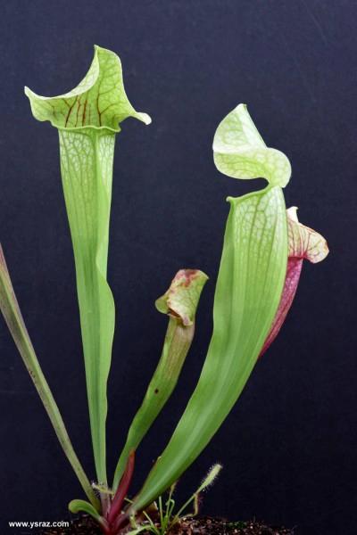 שופרית אווה Mitchelliana x leucophylla var. alba