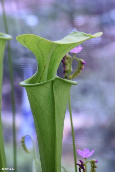 Sarracenia oreophila spring traps
