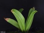 Sarracenia oreophila phyllodia