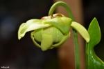 Sarracenia oreophila Flower