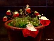 נאדיד Utricularia campbelliana