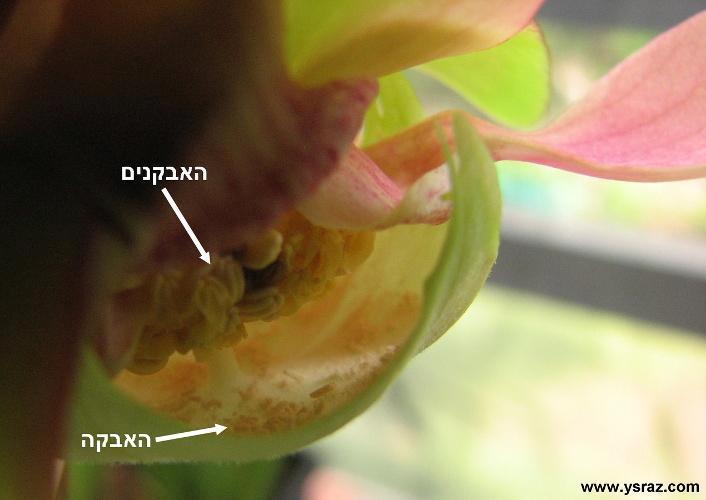 מבנה פנימי של פרח שופרית