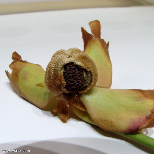 פרי השופרית המכיל את זרעי השופרית, לקראת סיום הבשלתם