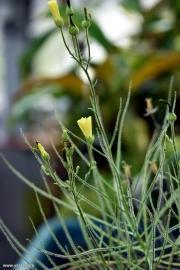 צמח הקשת, ביבליס Byblis