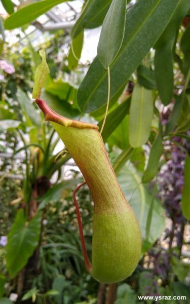 Nepenthes ventricosa Blanco