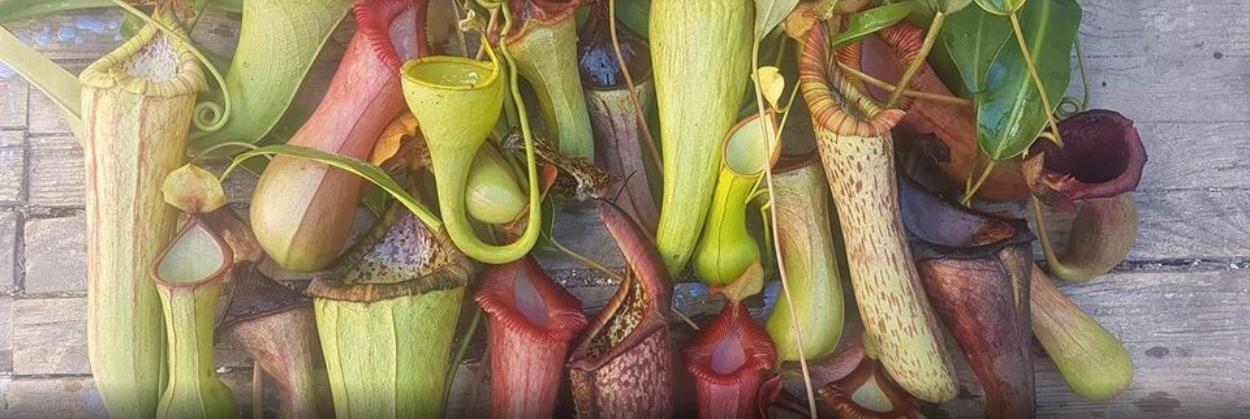 צמחים טורפים ישראל