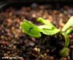 דיונאה דנטאט Dionaea Muscipula Dentate