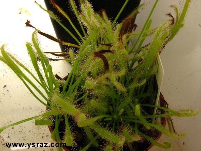 טללית קפנסיס אלבה Drosera capensis \'Alba\'
