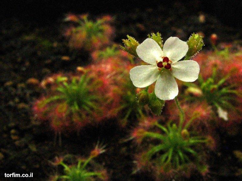פריחת טללית ננסית Drosera nitidula
