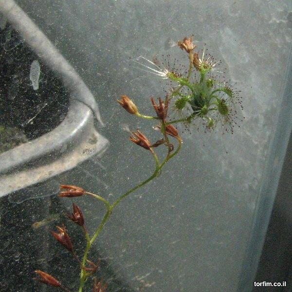 צמח טללית ניטידולה חדש שהתפתח על עמוד פריחה