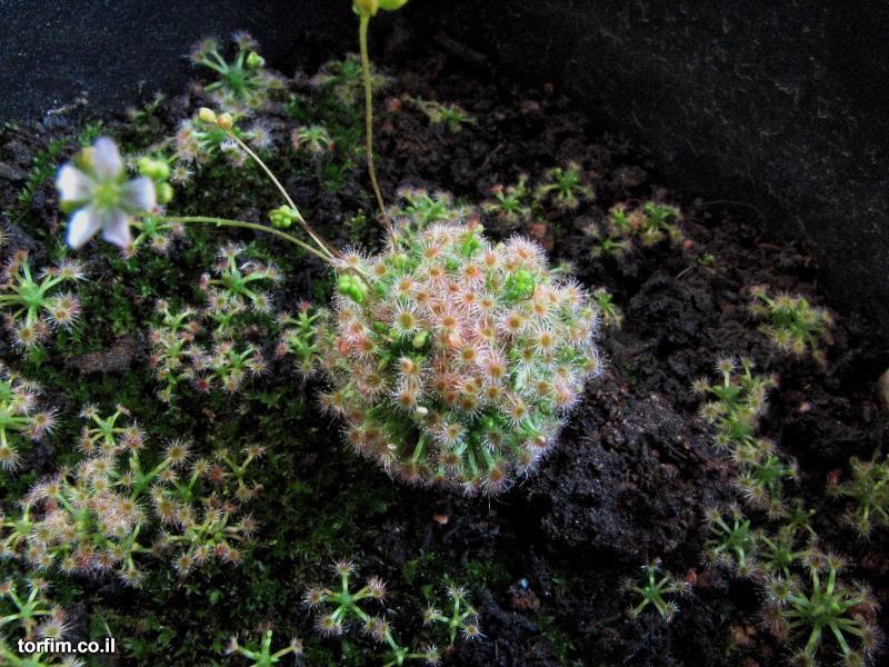 טללית ננסית Drosera helodes x pulchella