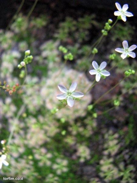 פריחת טללית ננסית Drosera helodes x pulchella