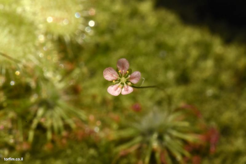Drosera occidentalis Flower