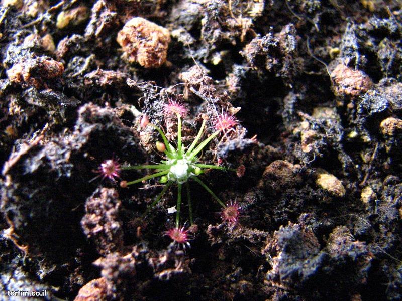 טללית ננסית Drosera occidentalis