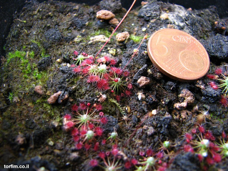 טללית ננסית Drosera occidentalis ssp australis