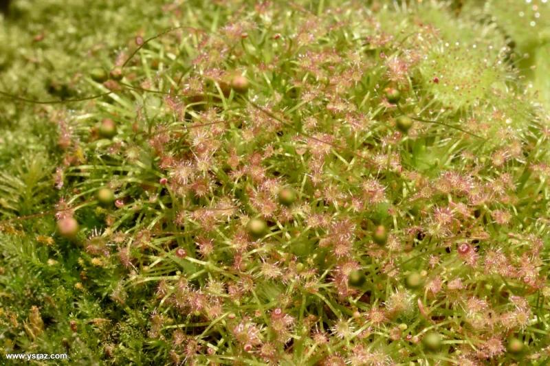 מושבת טללית ננסית Drosera occidentalis