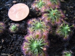 טללית ננסית Drosera nitidula