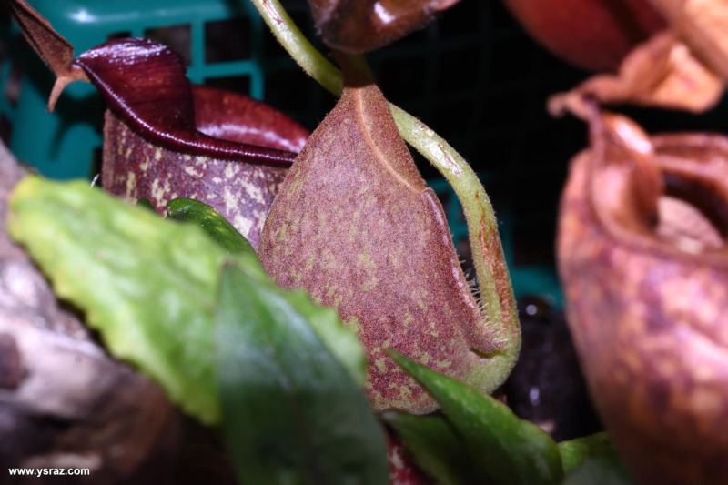כד מתפתח 'Nepenthes x 'Hookeriana