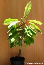 חלבלוב תכשיט מדגסקר Euphorbia leuconeura בוגר