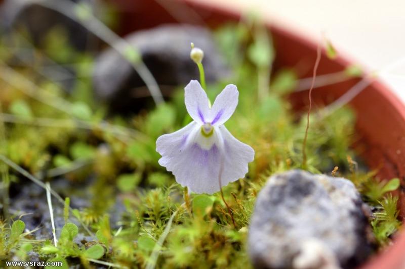 פריחת נאדיד סנדרסוני Utricularia sandersonii Large Flower