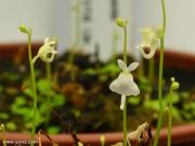 פריחת נאדיד סנדרסוני Utricularia sandersonii White Flower