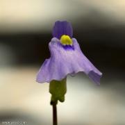 פריחת נאדיד Utricularia dichotoma Blue Flower