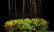 נאדיד Utricularia calycifida