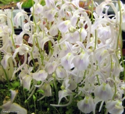 פריחת נאדיד סנדרסוני Utricularia sandersonii